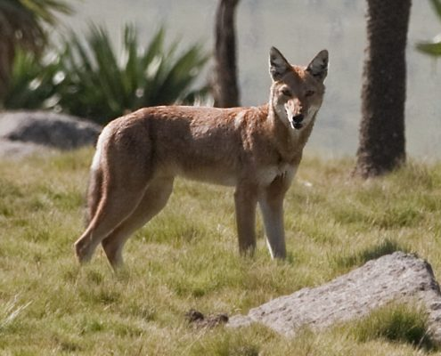 Ethiopia Park to protect wolves